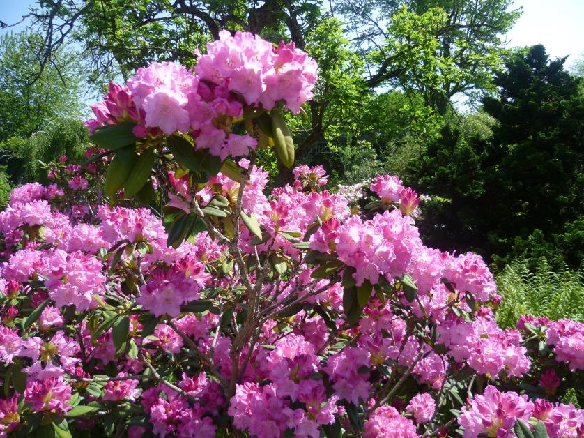 Rhododendron Botanischer Garten, Muenchen